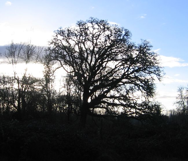 the-old-oak-in-january-2006