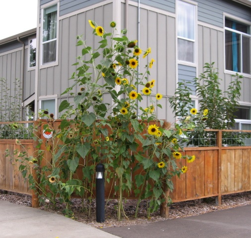 Sunflowers at fence are tall--tall--tall