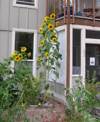 Sunflowers reach second story