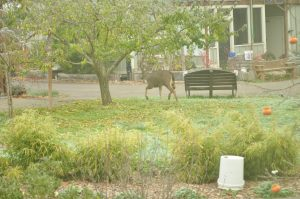 Deer at CoHo