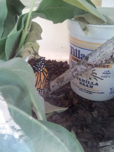 Monarch buttefly 20160811_110225