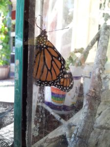 Monarch buttefly 20160811_145631