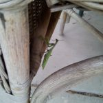 mantis-at-coho-20160916_184732