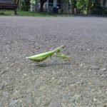 mantis-at-coho-20160920_125839